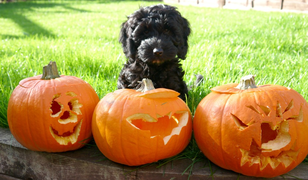 halloween berkley hearing dog